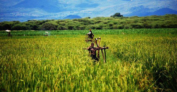 thesis on agriculture in india The development of agriculture has much to do with the economic welfare of our country 1000 words essay on agriculture in india essays, letters, stories.