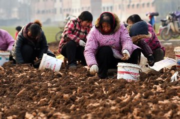 Across China: NW China farmers rake in big profits from TCM