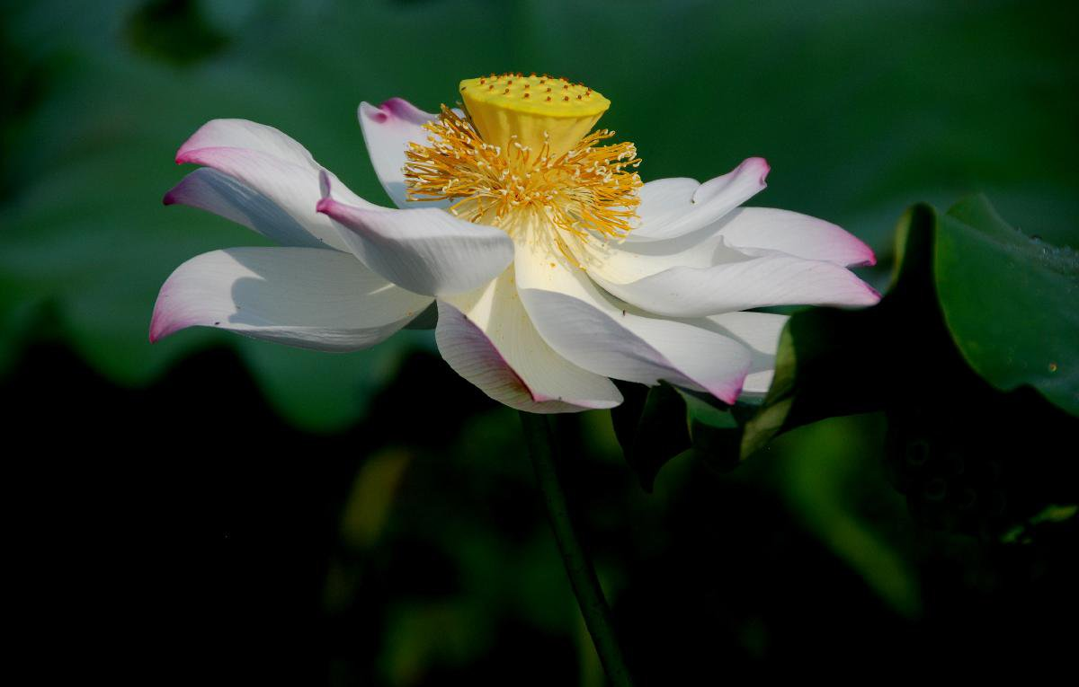 China autumn beginningxinhua finance agency 7 2016 shows a blooming lotus flower in etang township of hezhou city south chinas guangxi zhuang autonomous region chinese solar term beginning of izmirmasajfo