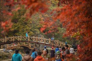 China Liaoning BEnxi Maple Leaves