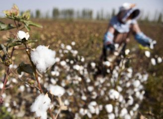 Chinas cotton yield continues dropping in 2016
