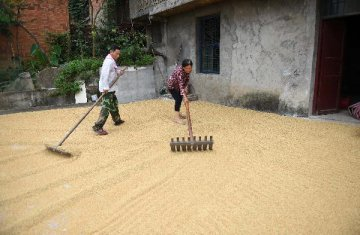 China sets minimum prices for protective rice purchases