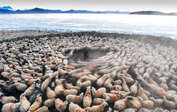 China Tibet Winter Herd Migration