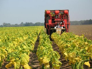 Chinese-funded tobacco farmers in Zimbabwe gear up for marketing season
