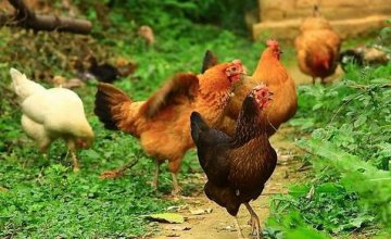 China responds to WTO report on EU poultry tariff quota dispute