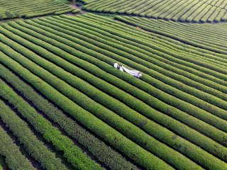 China Tea Harvest