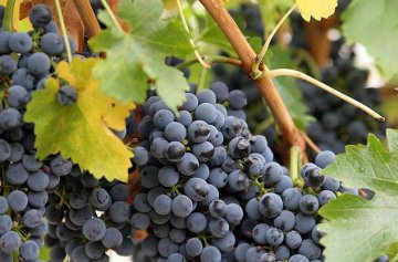 China agrees to import grapes from Egypt after 2 years negotiations