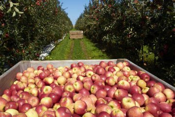 "Chinese apple growers compensated in ""insurance plus futures"" project"