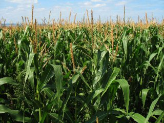 Chinas corn exports projection slashed due to supply gap