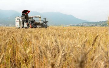 Chinas 2018 summer grain output slightly down