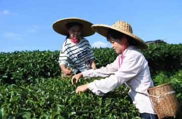 Chinas tea exports stable this year: report