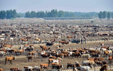 American cattle farmers eager to sell quality beef to China
