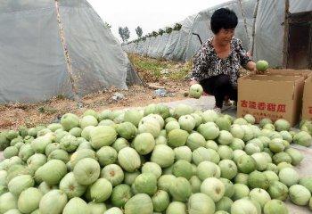 Brunei, China sign muskmelon export protocol