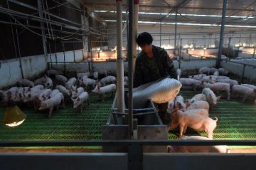 Chinas hog prices soften in mid-December