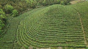 Chinas Henan sees robust green tea exports